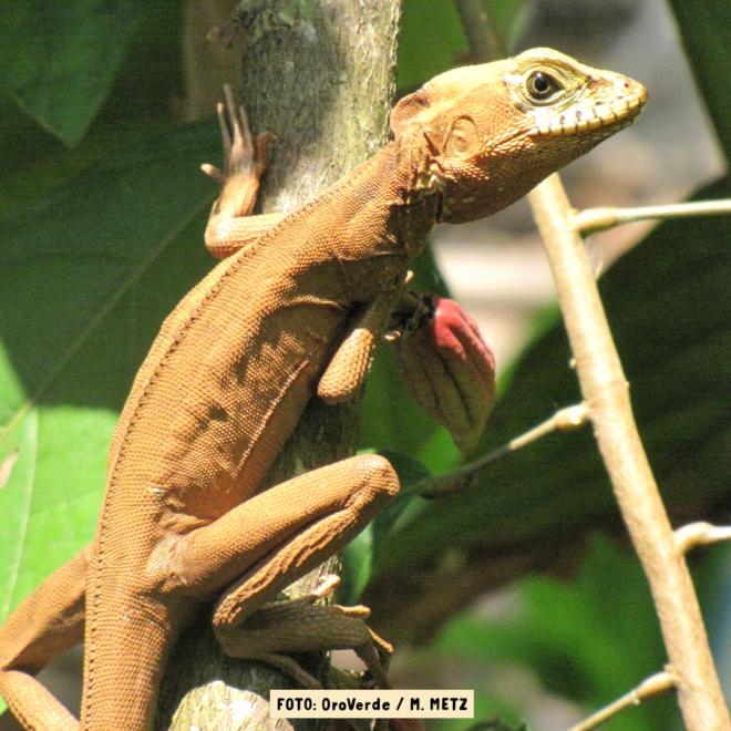 OroVerde-MMetz-Echse an Kakao-Baum_Aufforstung_Regenwald